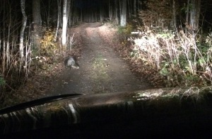 This was the second time I saw a porcupine waddle along the road. As I oh-so-slowly approached him for a better photo, he stopped, turned his head and looked at the car as if to say,